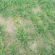 Bladluizen in wintergranen – Zachte winter doet bladluizen overleven